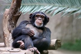 A team of experts at the Max Planck Institute for Evolutionary Anthropology set out to investigate how different environments may affect the behavior and cultural diversity of chimpanzees that belong to the same species.