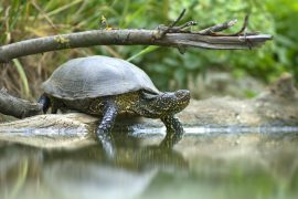 The research, which was focused on an endangered freshwater turtle species in Australia, suggests that turtles play an unappreciated role in regulating water quality in river systems.