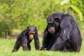 A new study from the Max Planck Institute for Evolutionary Anthropology reports that some chimpanzees suffer the rest of their lives if they lose their mother before adulthood