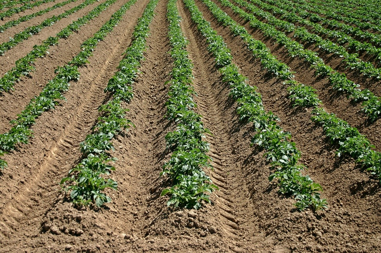 no till farming; crop furrows
