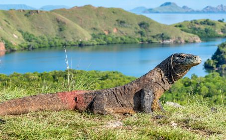 The Komodo dragon may completely vanish unless urgent action is taken to mitigate climate change, according to a new study from the University of Adelaide.