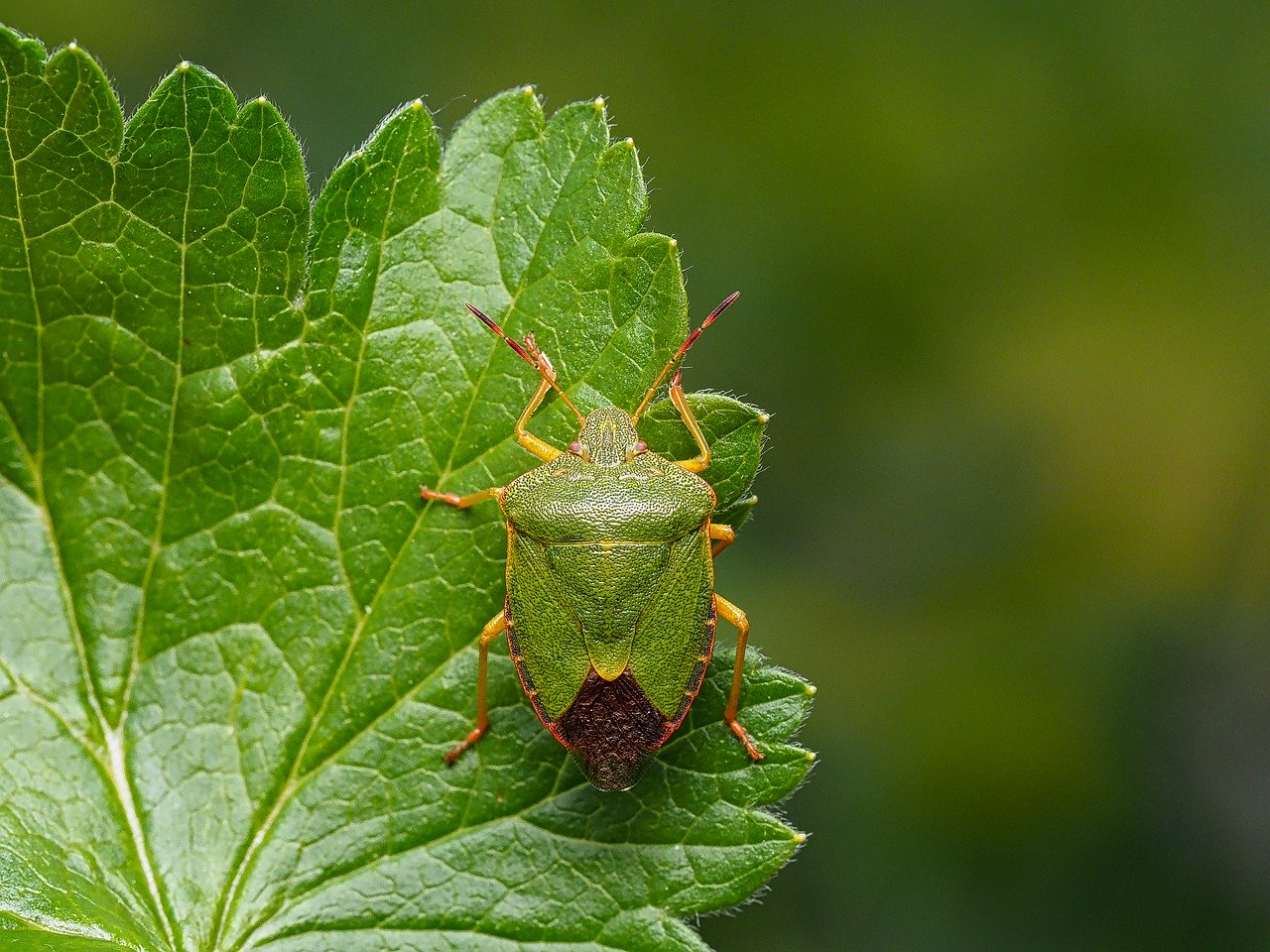 stink bug green insect hemiptera