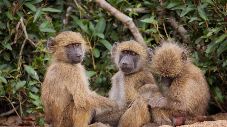 Male baboons live longer when they have female friends, according to a new study from Duke University