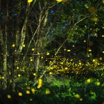 Every summer in the Great Smoky Mountains National Park, male fireflies put on a spectacular synchronized light show to capture the attention of potential mates.