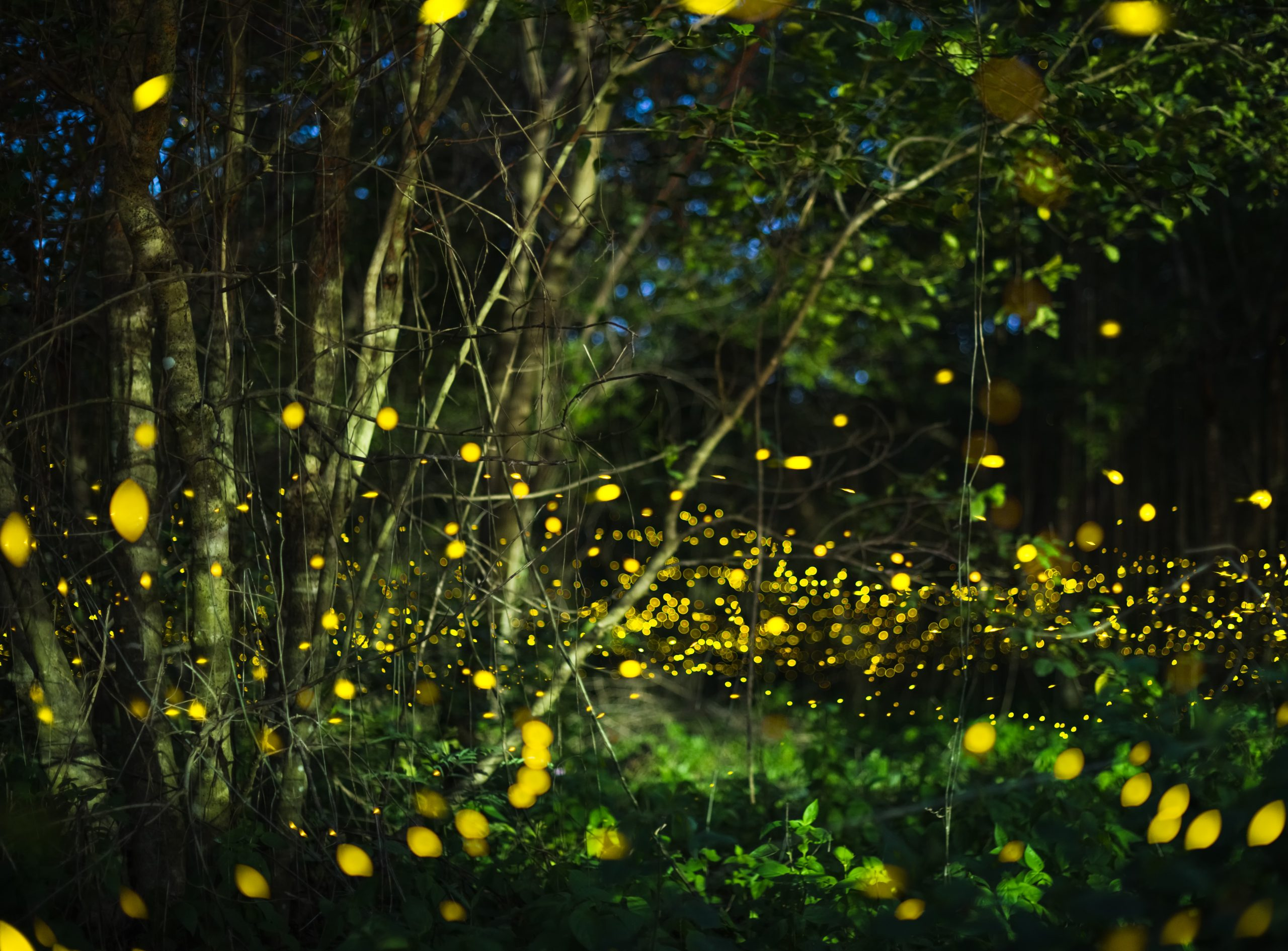 Fireflies use social cues to synchronize their lights • Earth.com - Earth.com