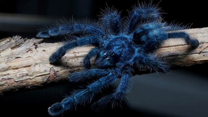Scientists at Yale-NUS College and Carnegie Mellon University (CMU) have discovered that tarantulas can see colors, which provides brand new insight into why the giant spiders are often bright blue or green.