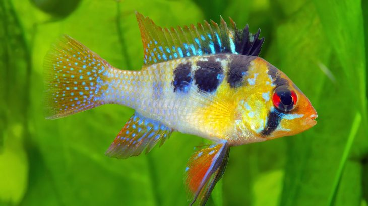 Biologists at the University of Massachusetts Amherst are describing how cichlid fish changed their shape after a river in the Amazon was dammed