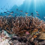 In a new study published by PLOS, scientists have discovered a coral reef in Belize where Acropora corals appear to be thriving, despite their widespread destruction in surrounding reefs that have endured the same pressures.