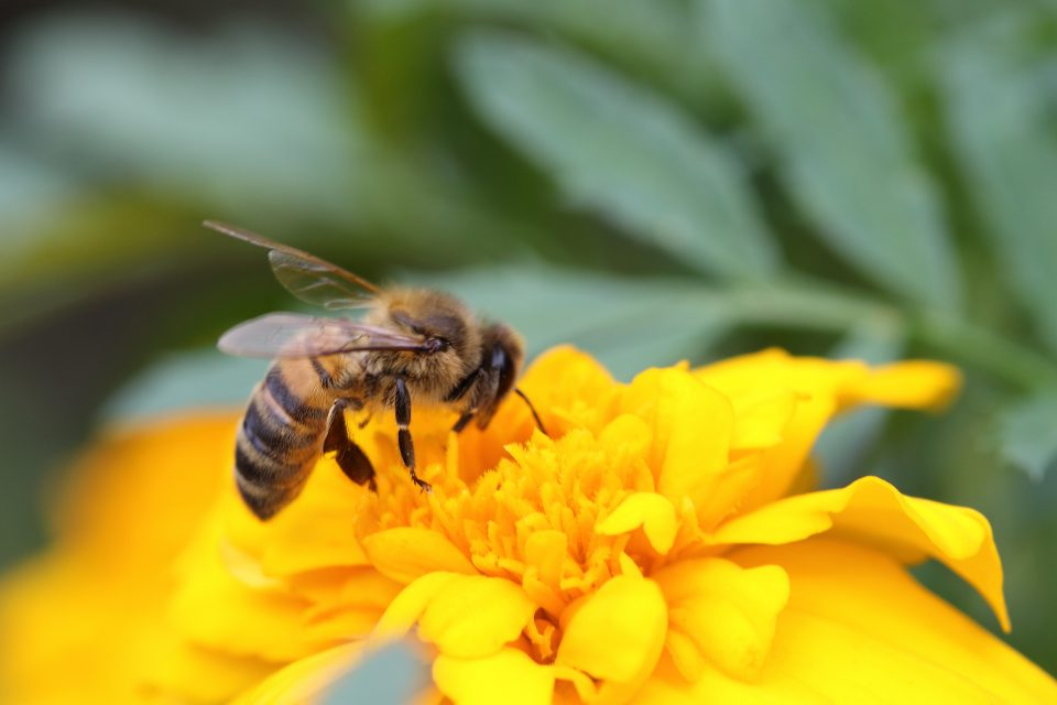The researchers found that the compounding effects of pesticide exposure and the loss of flowering plants reduced blue orchard bee reproduction by 57 percent.
