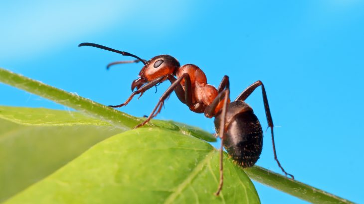 faced with the risk of drowning, black imported fire ants used sand to draw liquid out of containers