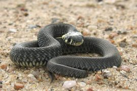 In a new study from the University of Illinois, Scientists have teamed up with military service members to investigate the prevalence of an emerging snake disease.