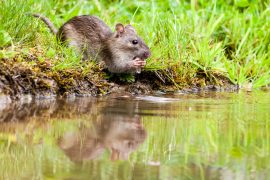 Nearly a century ago, scientists discovered an aquatic mouse in a stream in Ethiopia with water-resistant fur and broad feet for wading in the water.
