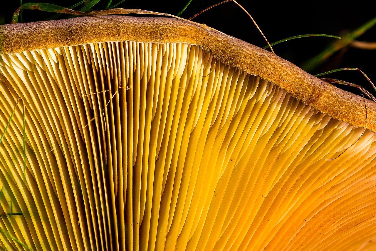 mushroom gills spore dispersal