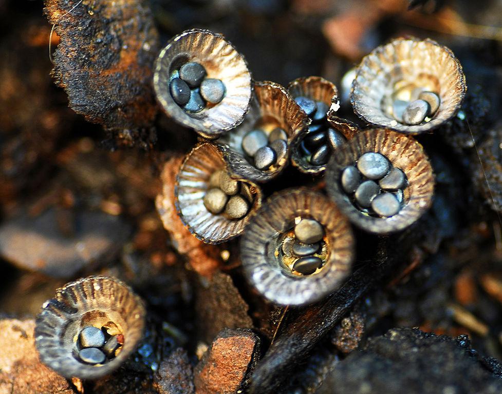 Bird's nest fungus Cyathus olla