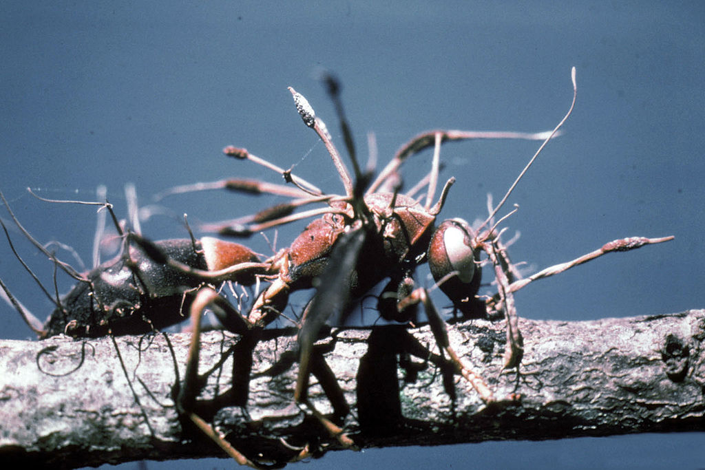 cordyceps fungus entomopathogenic