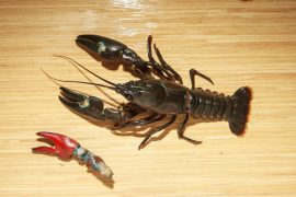 In Europe, concerns are growing that American signal crayfish will wipe out other populations, including Britain's endangered white-clawed crayfish.