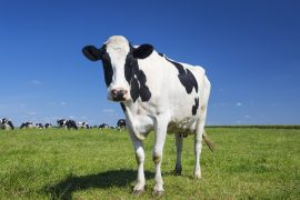 The removal of dairy cows from the United States would only make a small contribution to reducing greenhouse gas emissions while detrimentally impacting the country's supply of essential nutrients