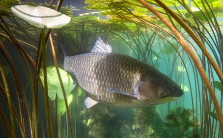 Plans to use a virus to control an invasive Australian carp will not work in the long term, according to researchers at the University of Exeter and the University of East Anglia