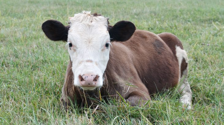 A new study published by Frontiers has revealed that, like humans, cows prefer intimate communication with people.