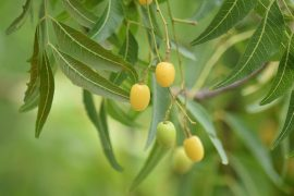 neem oil seed