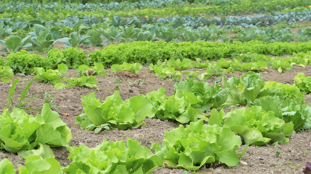 lettuce, garden