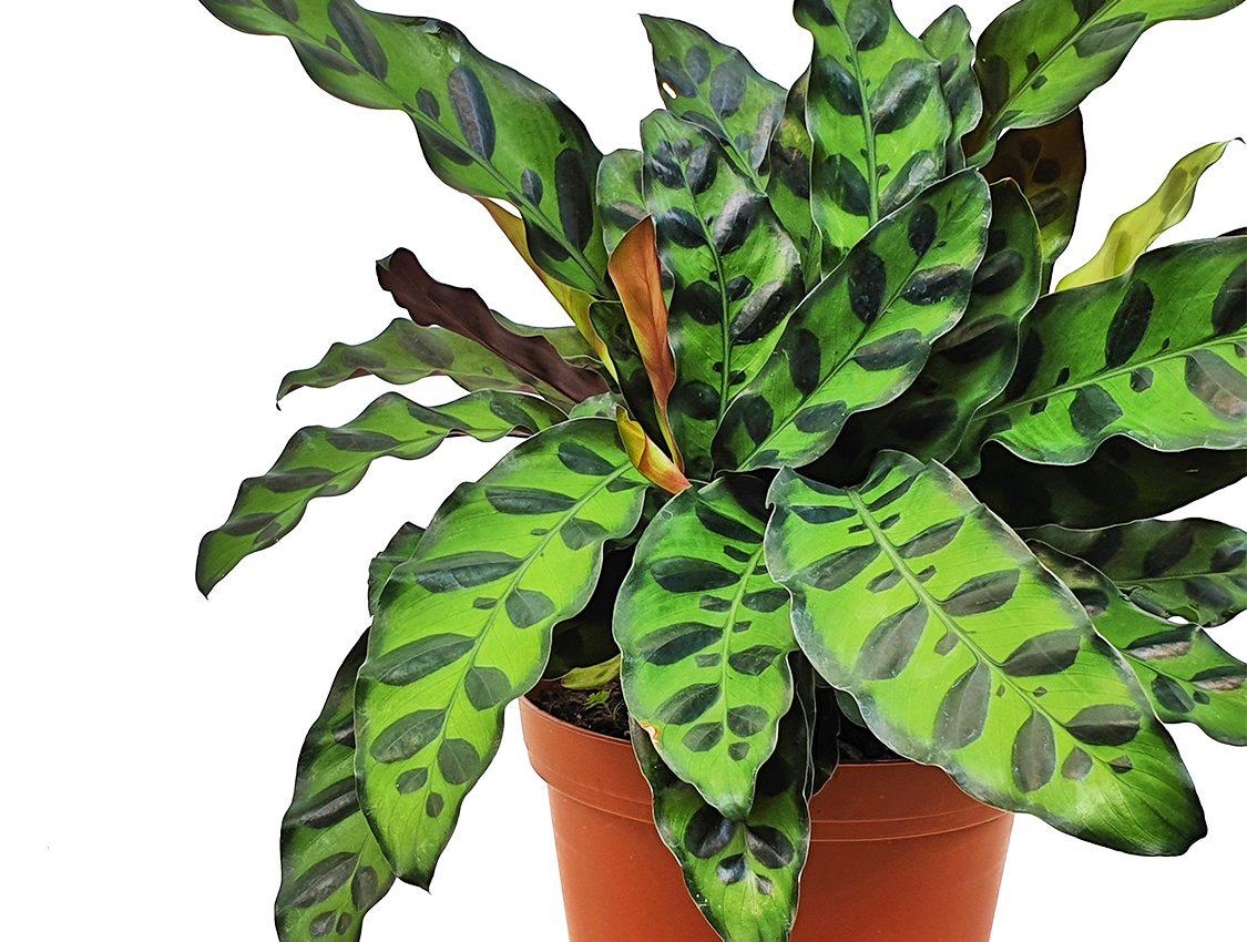 Calathea lancifolia Rattlesnake plantis an evergreen perennial