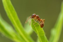 When the researchers created 3D models to analyze the muscles and internal skeletons of ants, they confirmed the theory that the loss of flight in worker ants is directly linked to the evolution of greater strength.