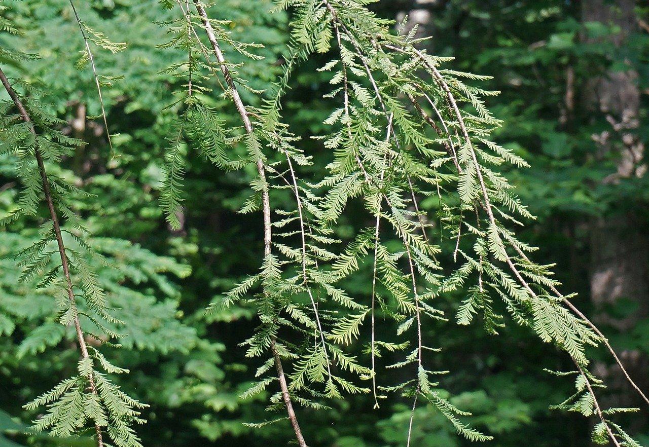 dawn redwood metasequoia glyptostroboides deciduous conifer living fossil