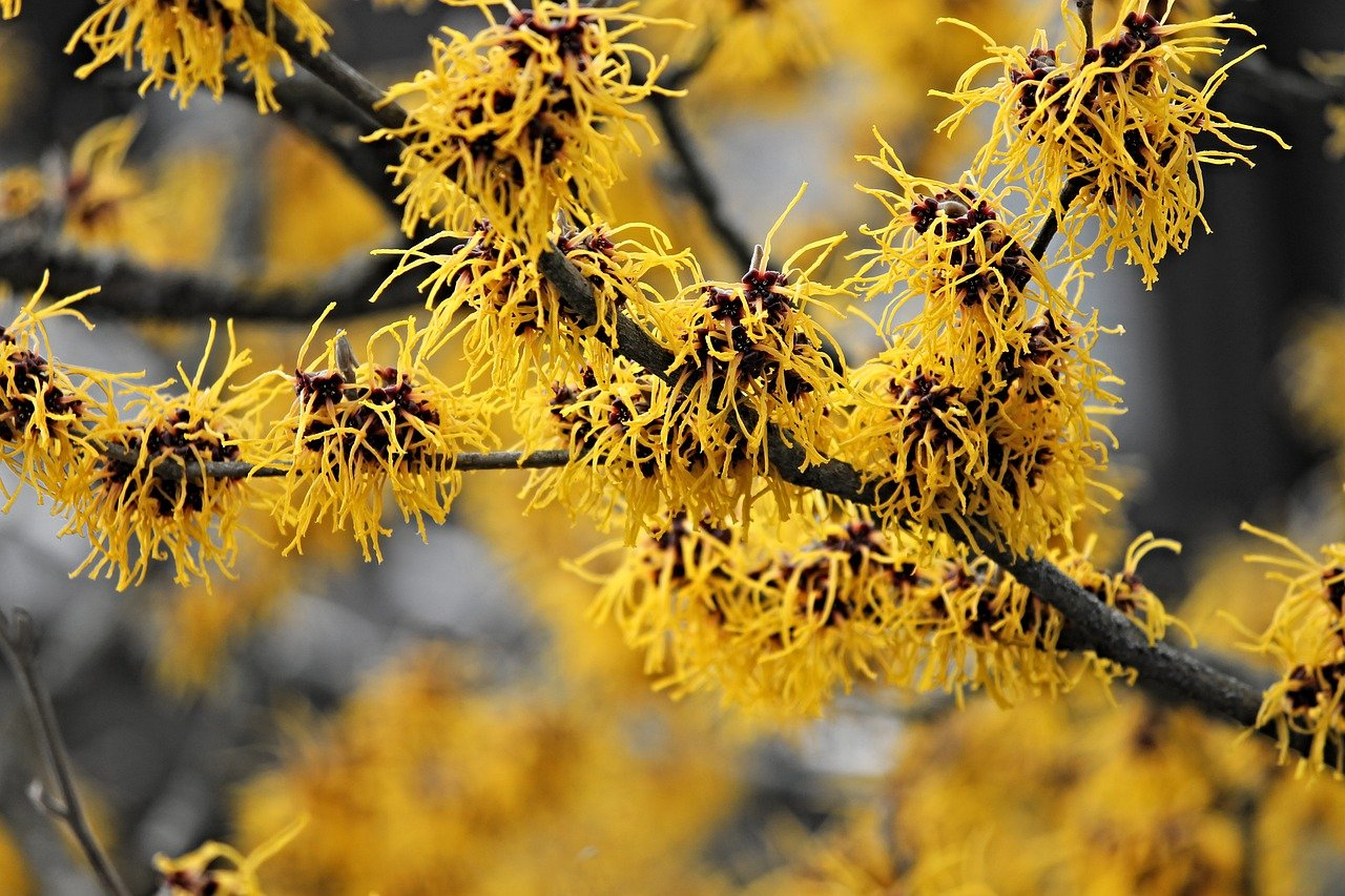 witch hazel temperate deciduous forest