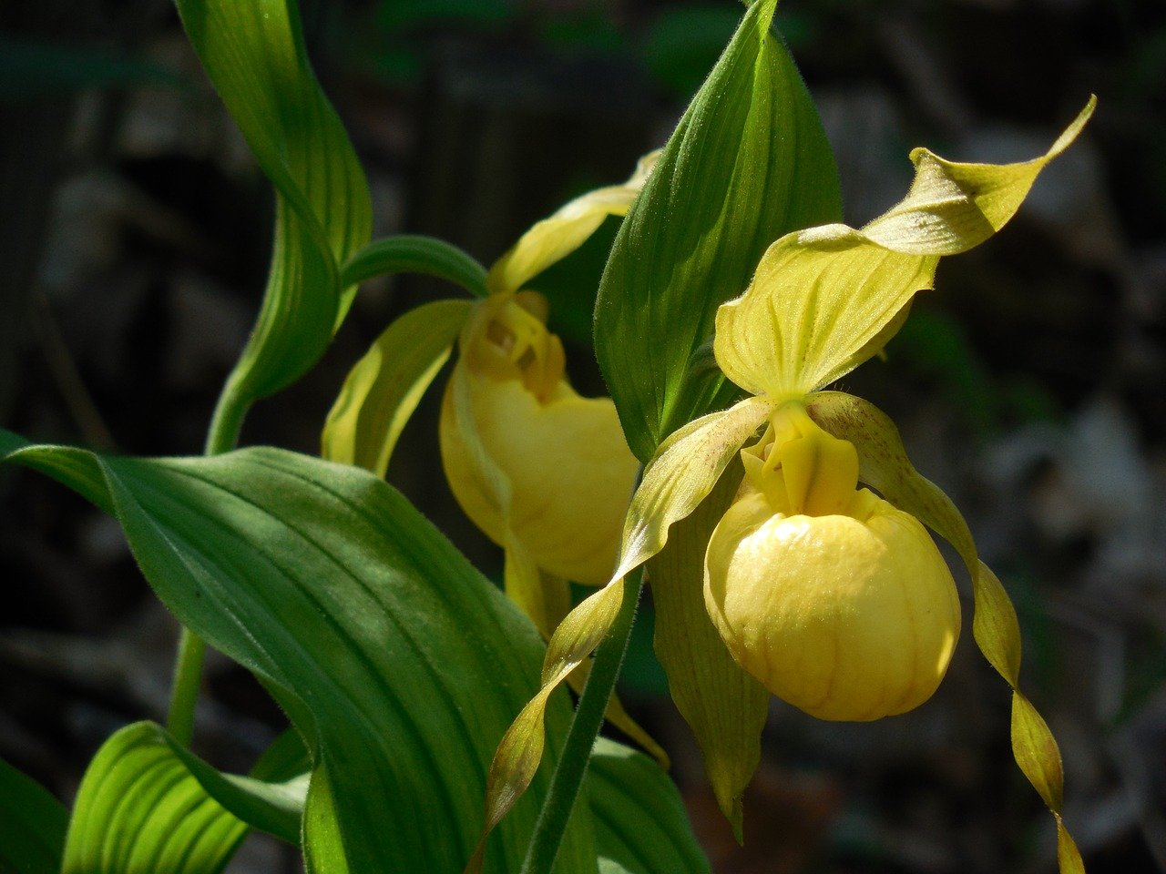 lady slipper orchid flower bloom