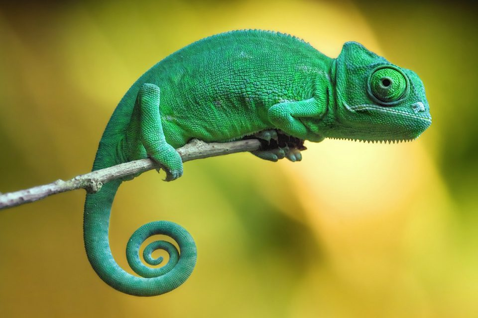Scientists at Washington University in St. Louis seized the opportunity to investigate how tropical lizards are affected by extreme climates.