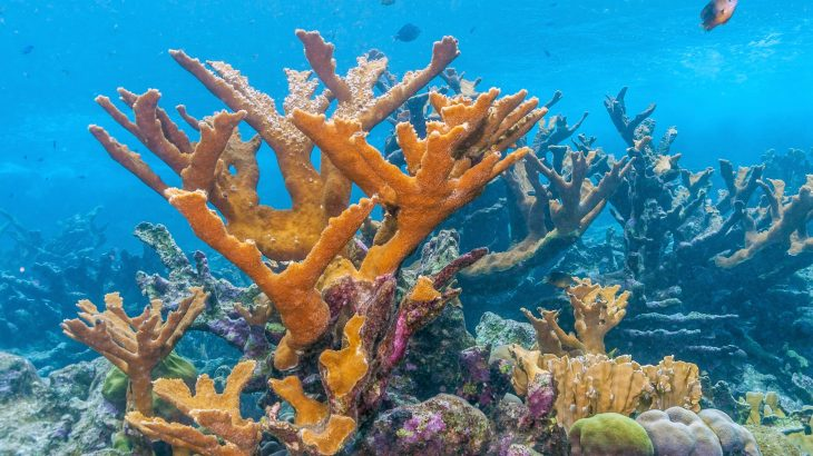 Researchers at the University of Miami (UM) Rosenstiel School of Marine and Atmospheric Science have analyzed the immune system capabilities of elkhorn coral, or Acropora palmata, which has become increasingly rare in the Caribbean