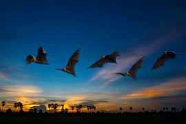 Scientists at the Smithsonian Tropical Research Institute (STRI) are exposing secrets about the late-night foraging habits of fringe-lipped bats based on the DNA contents of their poop.