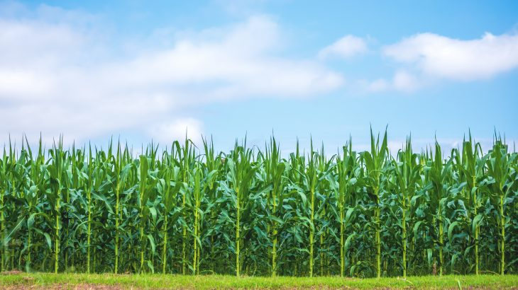 The researchers found that corn yields in the United States are becoming increasingly sensitive to drought conditions.