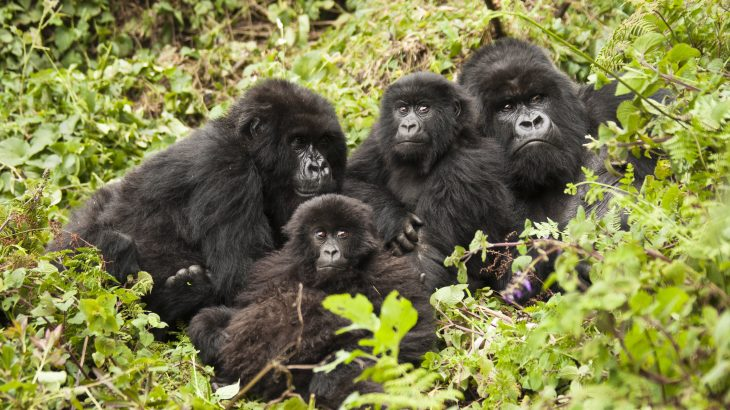 Mountain gorillas are friendly to their neighbors as long as they don't push their luck, according to a study from the University of Exeter.