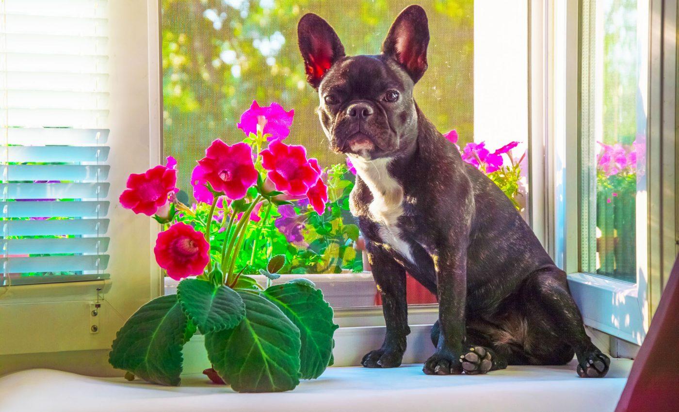 Red Sinningia speciosa Admired by French Bulldog