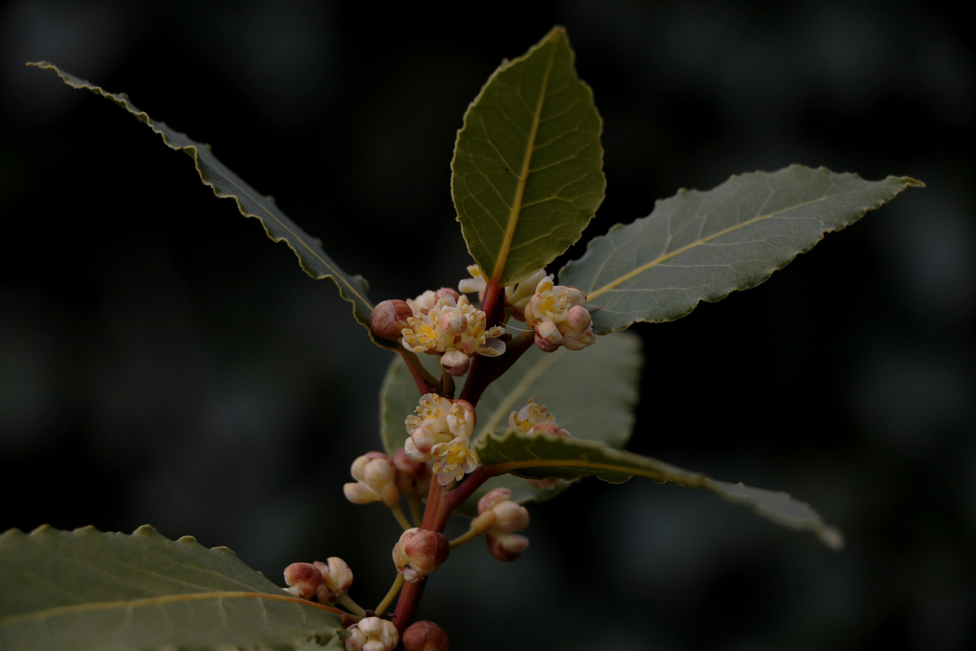 Laurus nobilis; bay leaf
