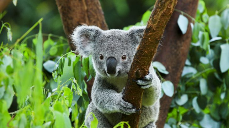 A new study from PLOS has investigated the main stressors that impact koala populations in the Australian state of New South Wales