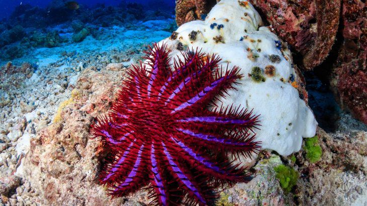 The research suggests that healthy tropical reefs with an abundance of Acropora corals encourage the overindulgent behavior of crown-of-thorns starfish.