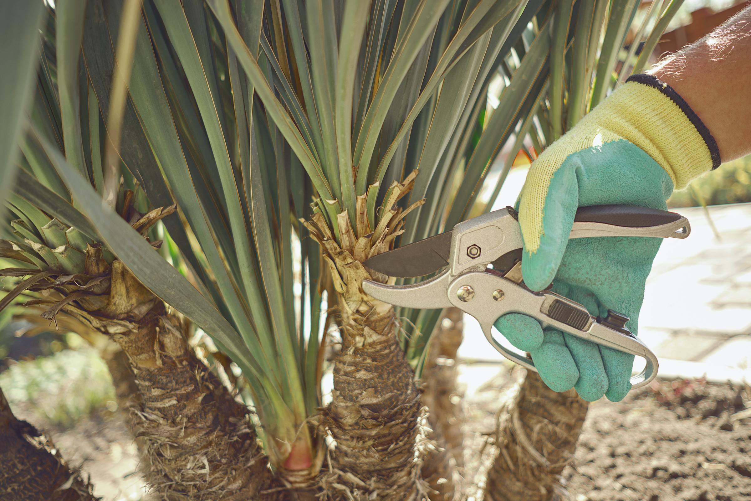 yucca pruning