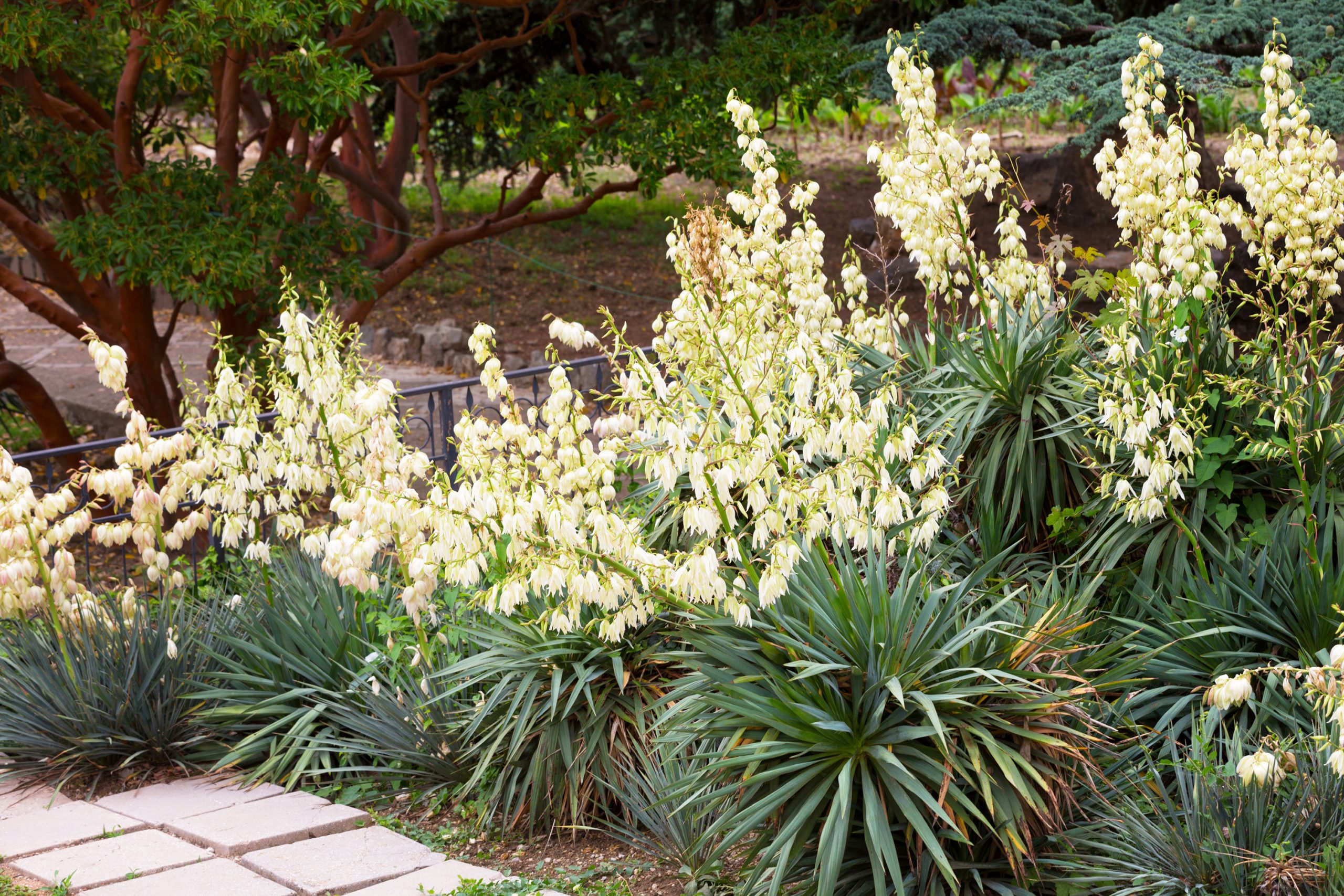 yucca plant flowering