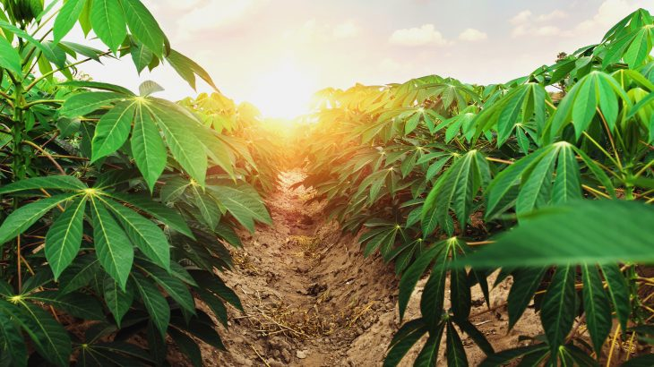 Scientists at the University of Illinois have discovered that the root crop cassava, which feeds more than a billion people, will thrive under the atmospheric conditions projected for the second half of this century.