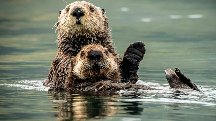 The researchers found that Asian short-clawed otters learned how to solve puzzles to gain access to food by observing their friends.