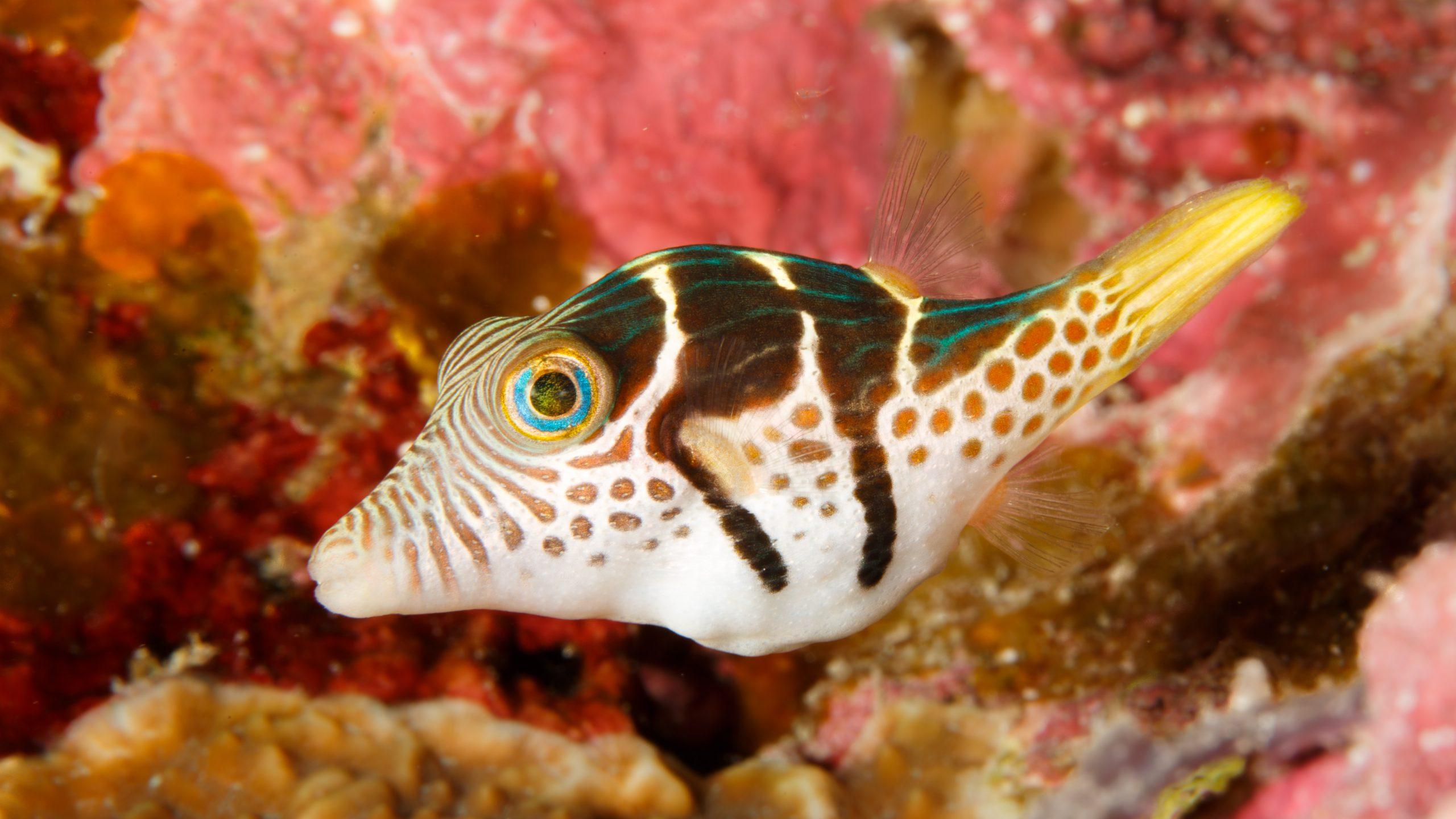 saddled pufferfish
