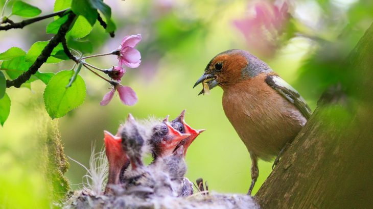 In a new study from the University of Illinois, experts report that many songbirds push their offspring to leave the nest before they are ready