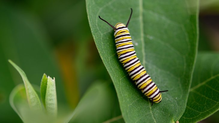 Monarch butterfly caterpillars can flip the switch from harmonious to hostile when their favorite food may become unavailable
