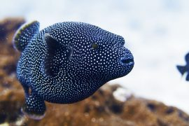 Arothron meleagris -- Whitespotted pufferfish
