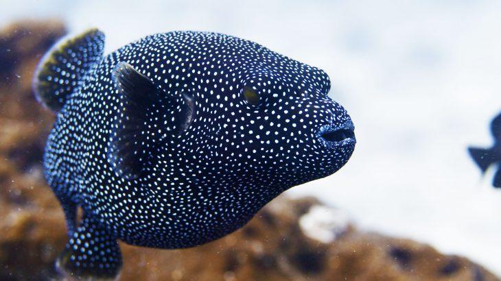 Arothron meleagris -- Whitespotted pufferfish