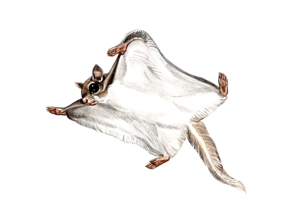 flying squirrel wings