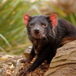 Understanding the evolution of this disease may explain why Tasmanian devils are vanishing and inform efforts to help protect these endangered animals.